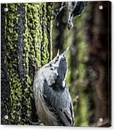 White Breasted Nuthatchs Acrylic Print