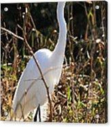 White Brilliance Of The Egret Acrylic Print