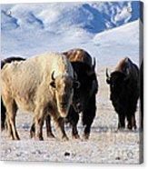 White Buffalo Acrylic Print