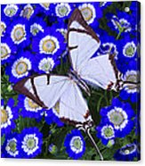 White Butterfly On Blue Cineraria Acrylic Print