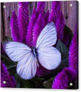 White Butterfly On Flowering Celosia Acrylic Print