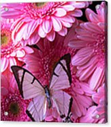 White Butterfly On Pink Gerbera Daisies Acrylic Print