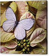 White Butterfly On Poinsettia Acrylic Print