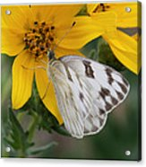 White Butterfly Acrylic Print