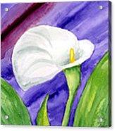 White Calla Lily Purple Mood Acrylic Print