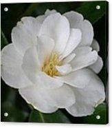 Snow White Camellia Acrylic Print