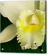White Cattleya Orchid Acrylic Print by James Temple