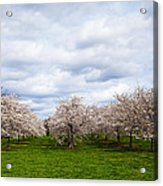 White Cherry Blossom Field In Maryland Acrylic Print by Susan Schmitz