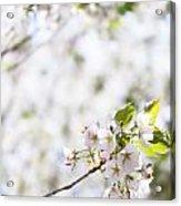 White Cherry Blossom Flowers  Acrylic Print