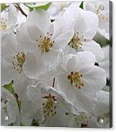 White Cherry Blossoms Acrylic Print