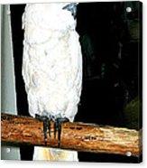 White Cockatiel-loreto Mx. Acrylic Print