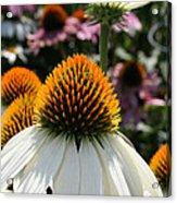 White Cone Flower Acrylic Print
