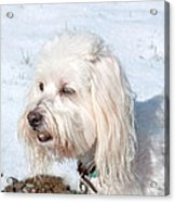 White Coton De Tulear Dog In Snow Acrylic Print