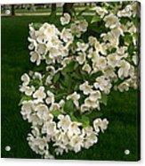 White Crabapple Acrylic Print