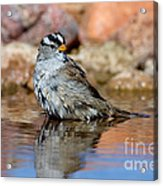 White-crowned Sparrow Bathing Acrylic Print