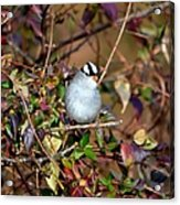 White Crowned Sparrow Acrylic Print
