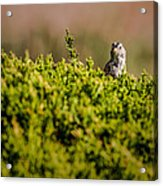 White-crowned Sparrow In A Bush Acrylic Print