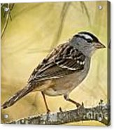 White-crowned Sparrow Pictures 63 Acrylic Print