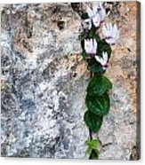 White Cyclamen Flowers Acrylic Print