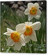 White Daffies Acrylic Print