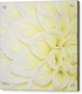 White Dahlia Acrylic Print
