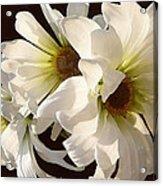 White Daisies In Sunshine Acrylic Print