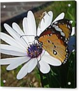 White Daisy And Butterfly Acrylic Print