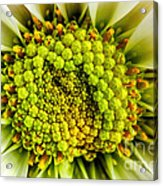White Daisy Center Acrylic Print