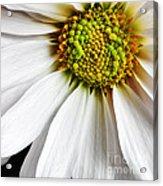 White Daisy Closeup Acrylic Print