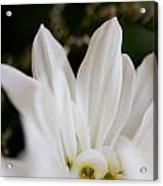 White Daisy Acrylic Print by John Holloway