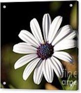 White Daisy Acrylic Print