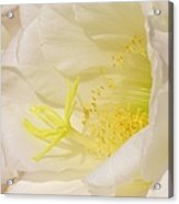White Delicate Cactus Flower Acrylic Print