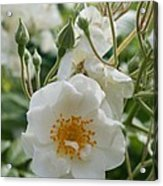 White Dog Rose And Buds Acrylic Print