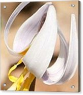White Dog Tooth Violet Acrylic Print