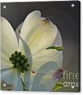 White Dogwood Blooms Series Photo K Acrylic Print
