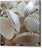 White Double Ark Shells Acrylic Print