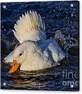 White Duck 3 Acrylic Print
