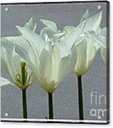White Early Dawn Tulips Black Border Acrylic Print