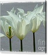 White Early Dawn Tulips White Bordered Acrylic Print