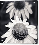 White Echinacea Flower Or Coneflower Acrylic Print by Adam Romanowicz