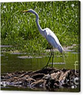 White Egret And Snapping Turtles Acrylic Print