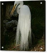 White Egret In The Shadows Acrylic Print