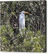White Egret In The Swamp Acrylic Print