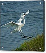 White Egret Landing 2 Acrylic Print by Ernie Echols