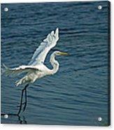White Egret Landing Acrylic Print