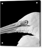 White Egret Large Print Acrylic Print