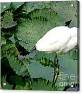 White Egret On Lilypads Acrylic Print