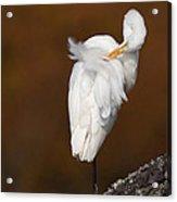 White Egret Preening Acrylic Print