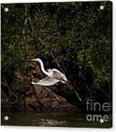 White Egret's Approach   #0615 Acrylic Print