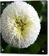 White English Daisy Acrylic Print